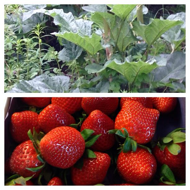 rabarbra og jordbær